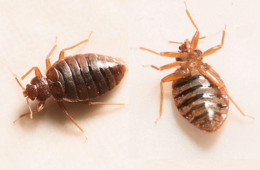 bed bugs belleville bed bugs hotel