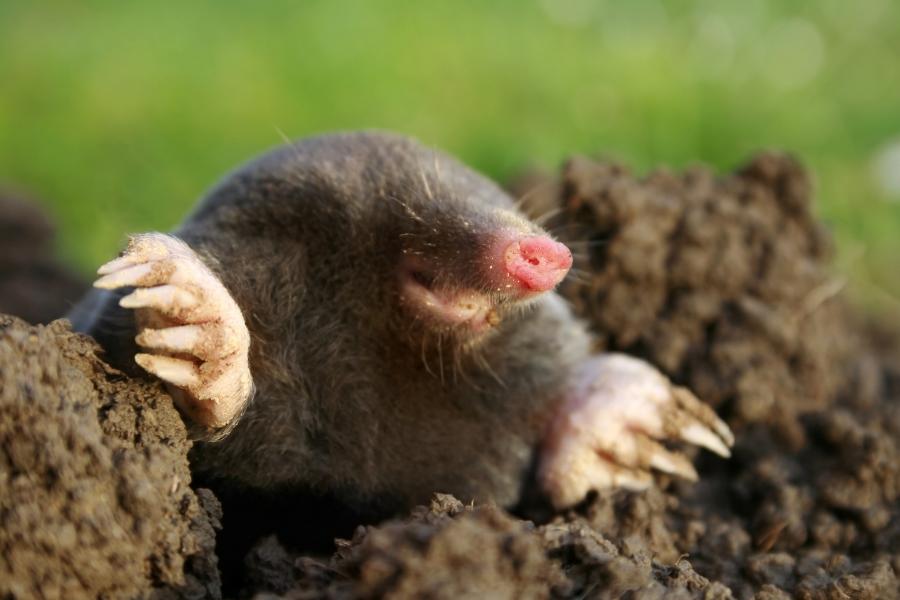 mole vole in yard