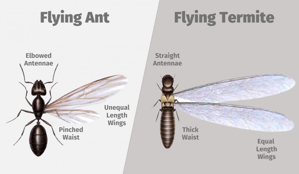 Flying Ant or Flying Termite